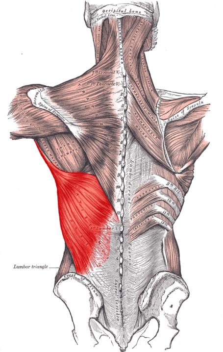 Latissimus Dorsi Muscle Fiber Anatomy